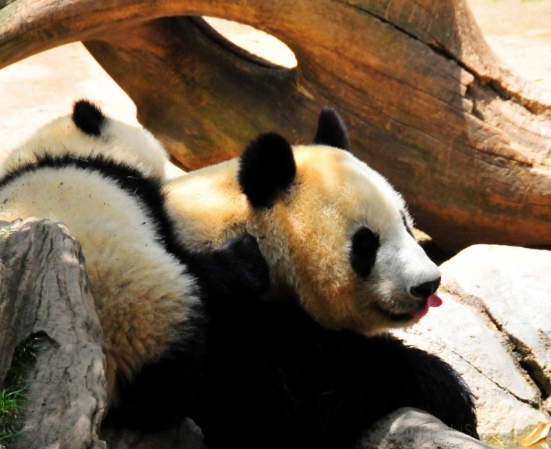 panda mom with cub on her back