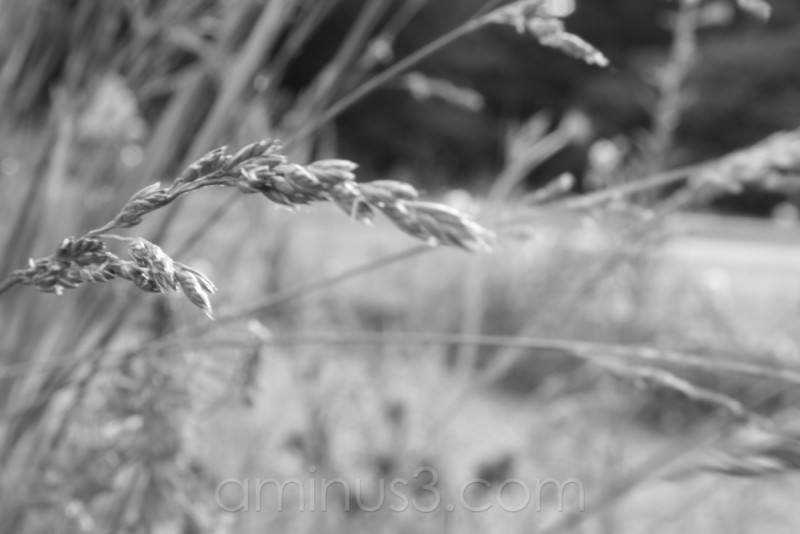 Wild Grass by the Parking Lot