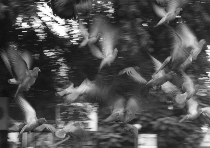 pigeons, ahmedabad, flight, blur, bw