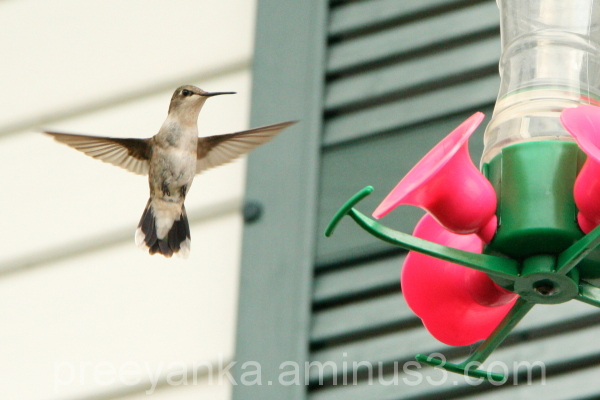 Hummingbird by the Feeder
