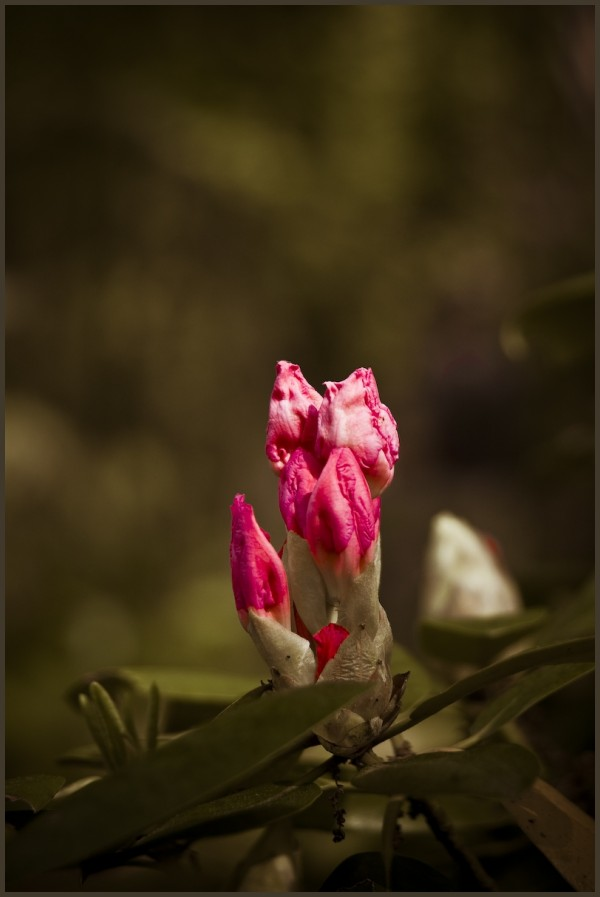 Hilltop Gardens Rhododendron