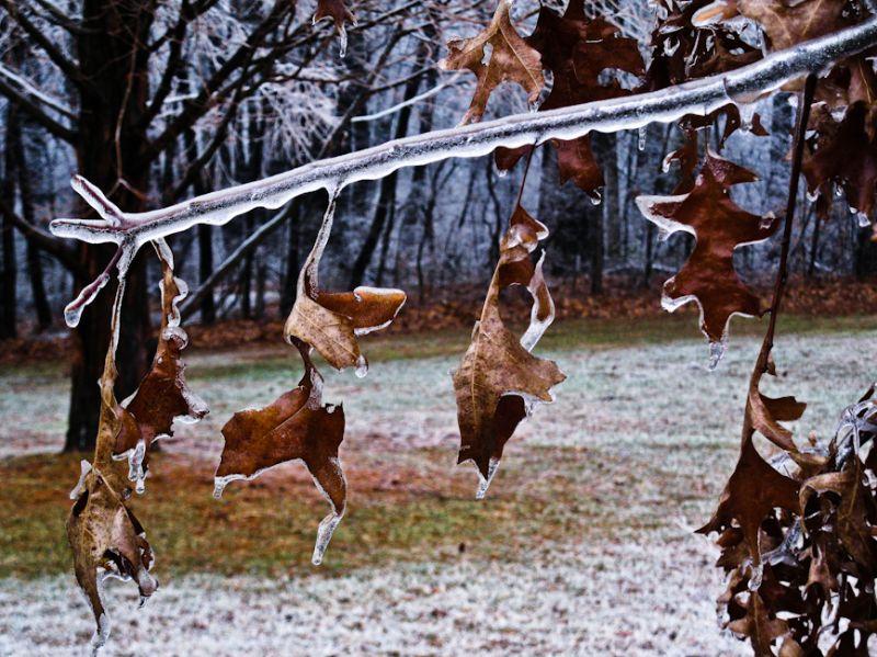 Ice Covered Oak Leaves