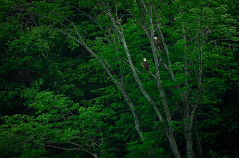 Pine Creek Bald Eagles