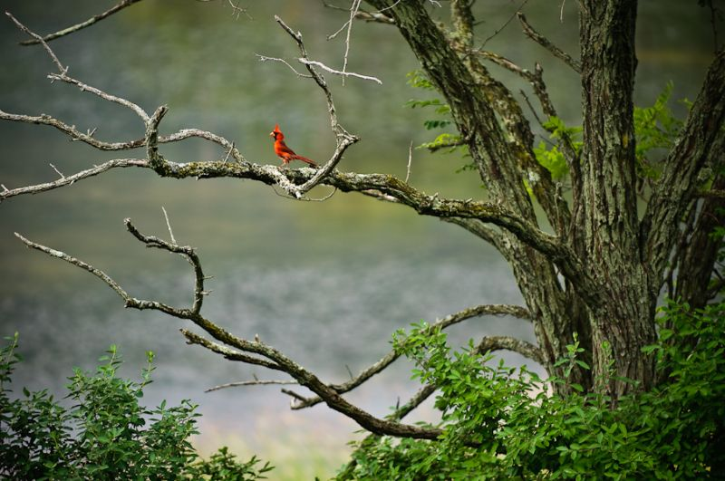 Cardinal at Hammond Reservoir