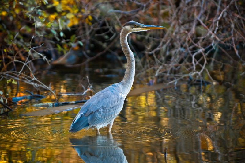 Blue Heron in Pinchot's Lake