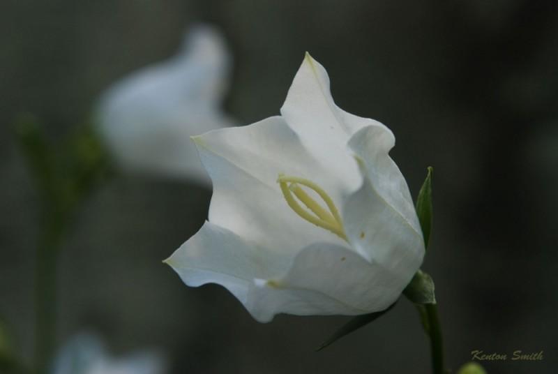 White Bellflower
