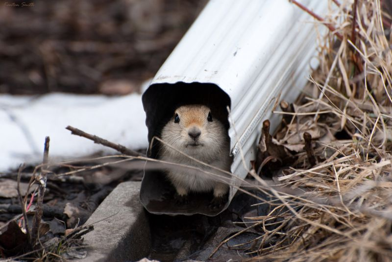 Gopher in Downspout