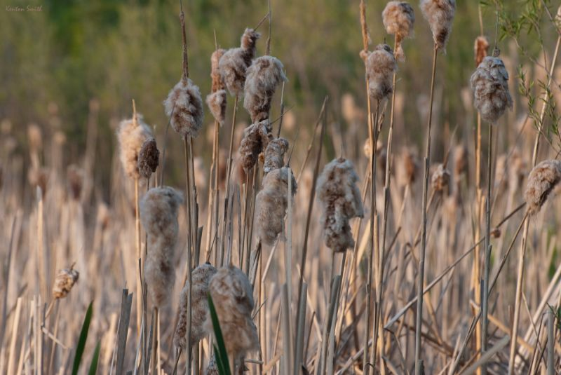 Bull Rushes at Sunset