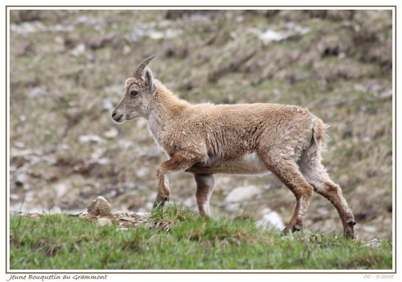 young ibex bouquetin on the Grammont