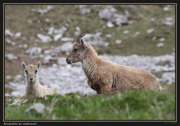 ibex bouquetins on the Grammont in Switzerland