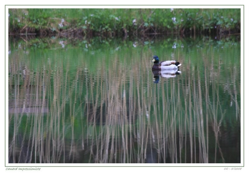 lac des joncs - duck like an impressionist nature