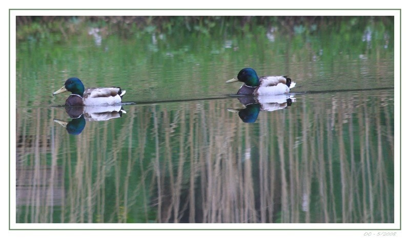 ducks on the Lac des Joncs