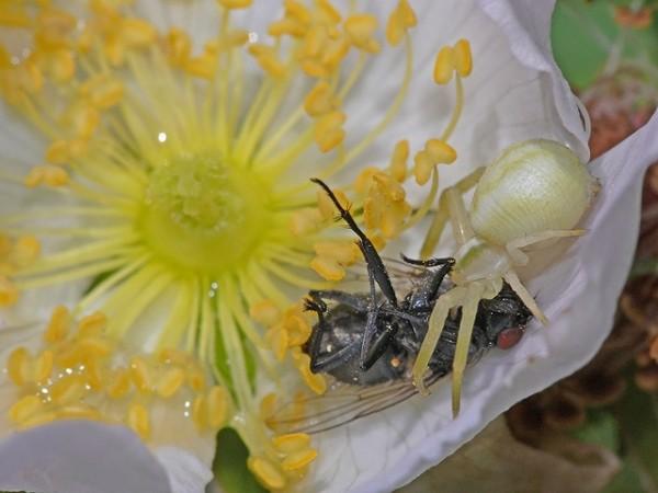 Repas dans une fleur d'églantier