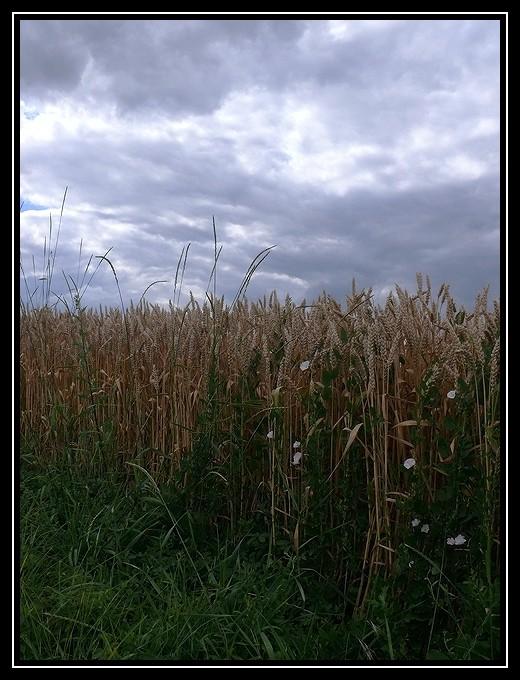 Liserons dans les blés