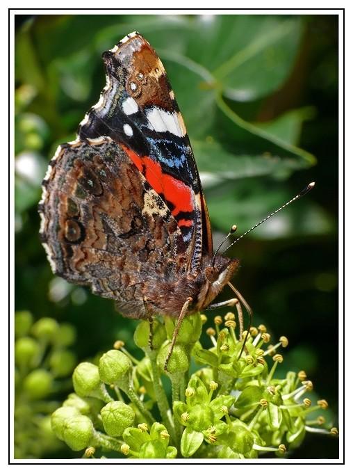 Beau papillon...