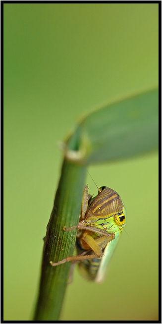 La Cicadelle