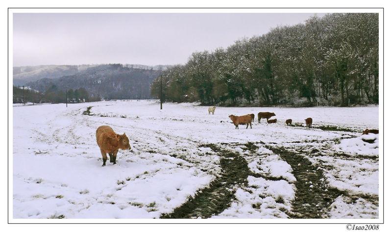 Les vaches et la neige