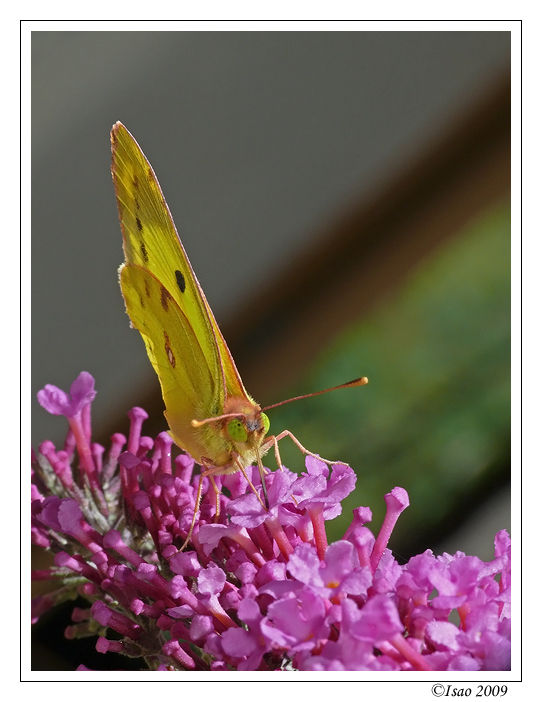 Joli papillon jaune...