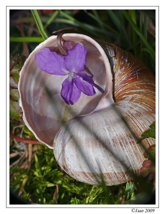 La coquille et la violette