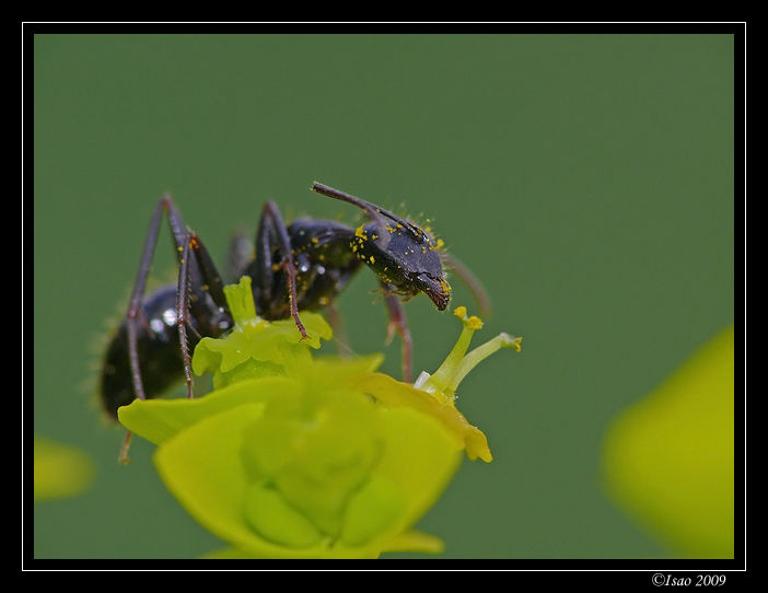 Fourmi sur petite fleur verte