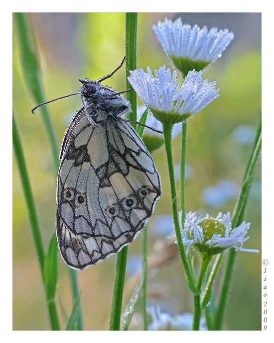Rosée sur papillon (2)