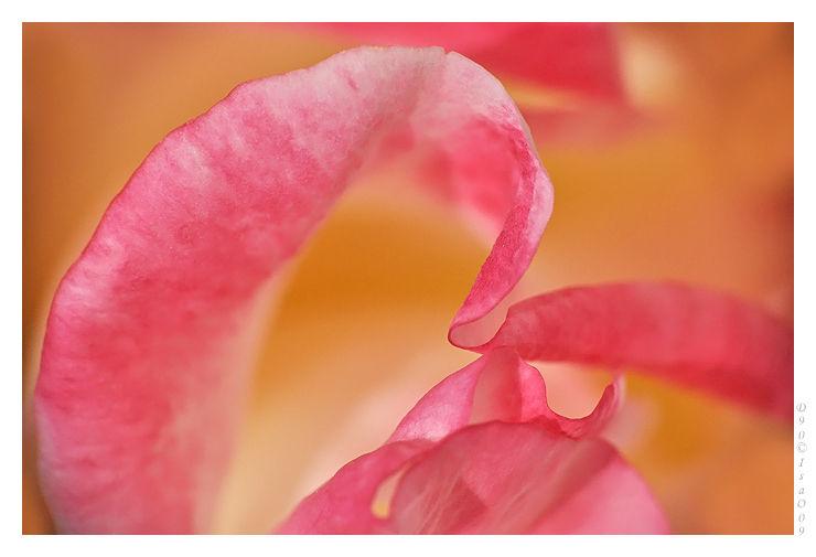 Pétals roses