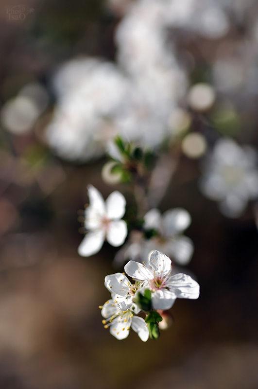 Le prunier sauvage est en fleurs...