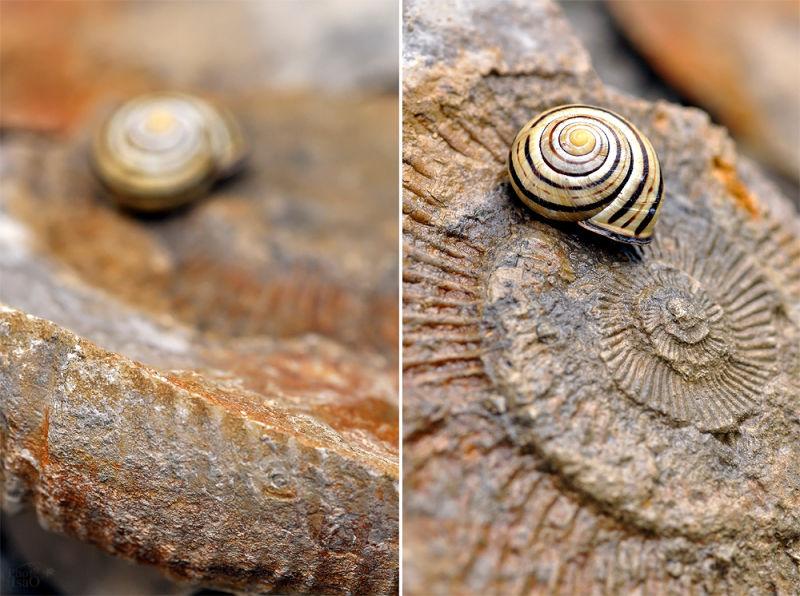 Escargot et Fossile