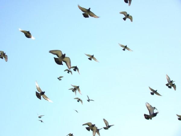 Birds of Peace