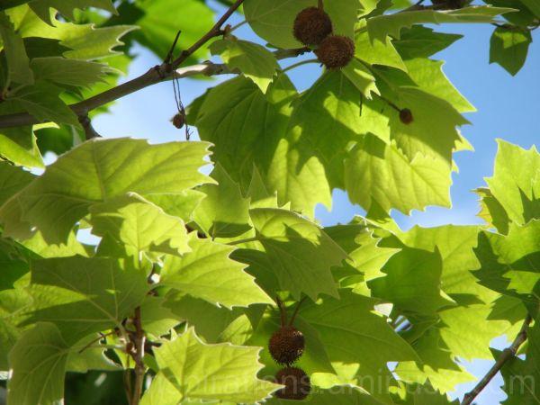 Green plants maple