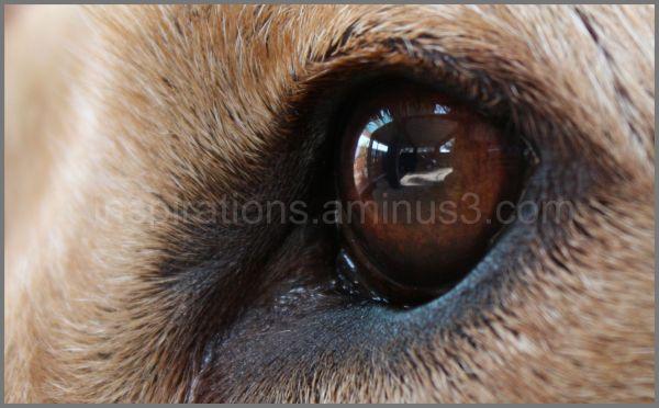 labrador eye