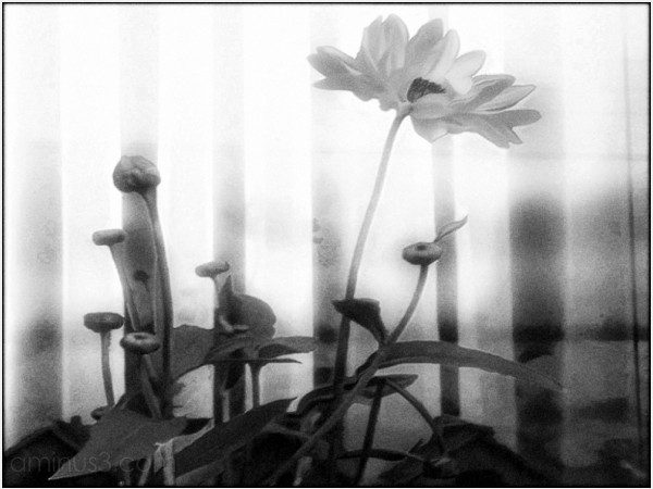 sunflowers curtain gauzy gossimer light flowers