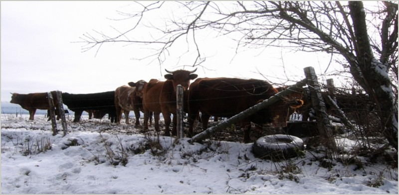 wire fence tire snow cattle steer contest roamin