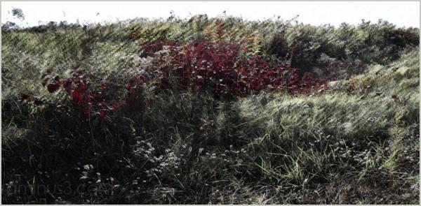 purpleleaf sandcherry frost early-morning roamin