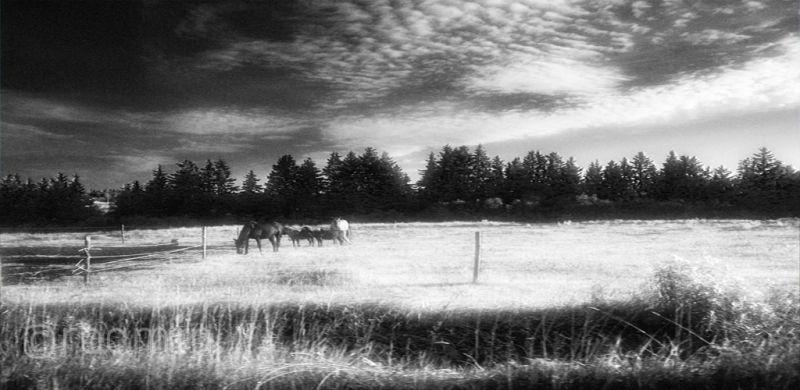 field early-morning grazing horses ponys roamin