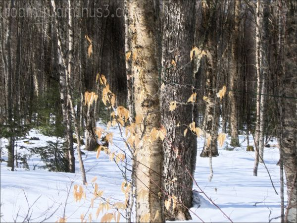 fenwick birch snow roamin
