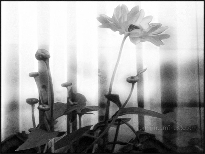 Sunflowers, No Sun