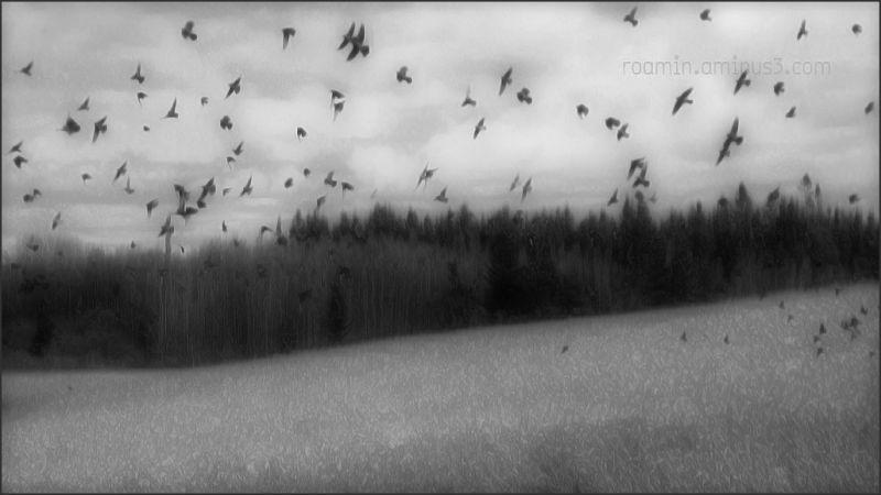 cornfields ulift blackbirds red-winged roamin