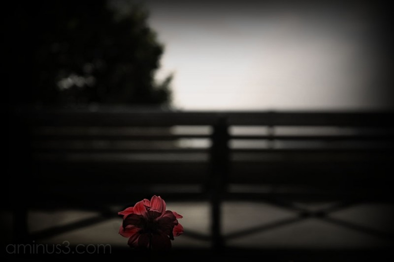 single red flower against blurred park bench