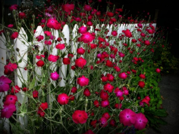 pink flowers bursting through a white picket fence