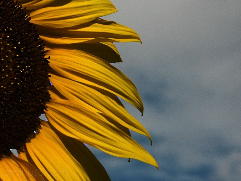 A giant sunflower and sky