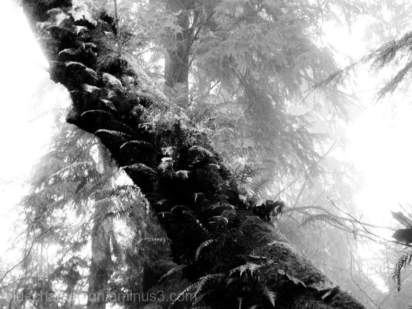 Tree growing sideways, covered in moss, fog