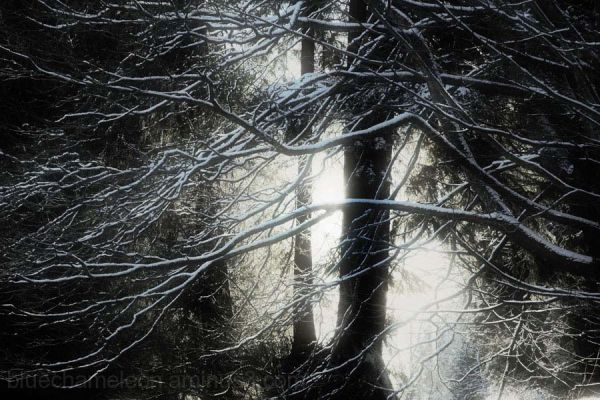 Light shining on snow covered branches
