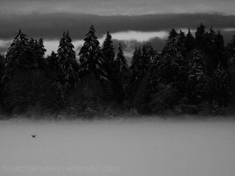 Snow tipped trees in fog with flying bird
