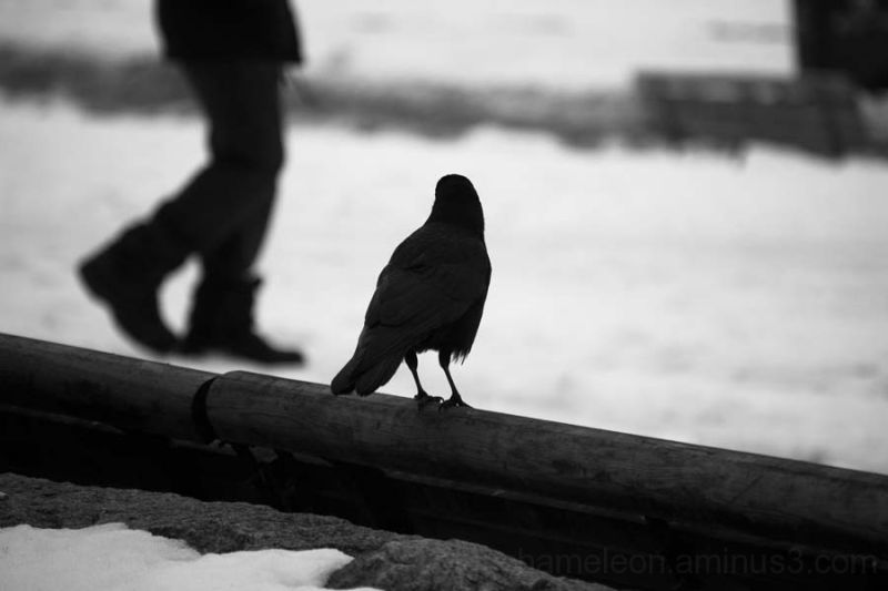 A crow sitting on a log watching a man walk by
