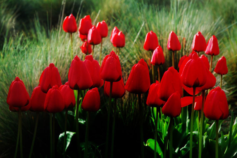 Tulips growing in tall grasses
