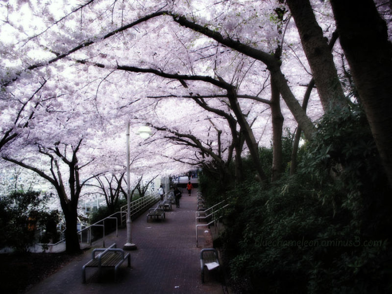Cherry blossoms form an archway  at station.