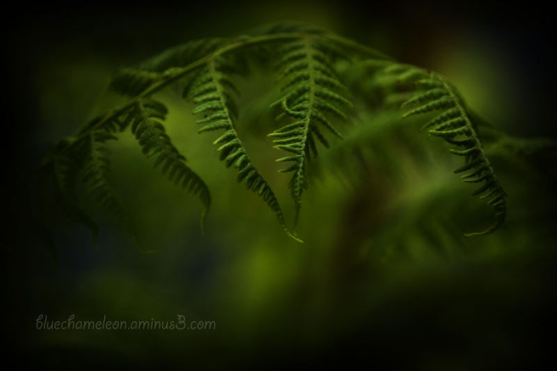 A fern emerging during spring
