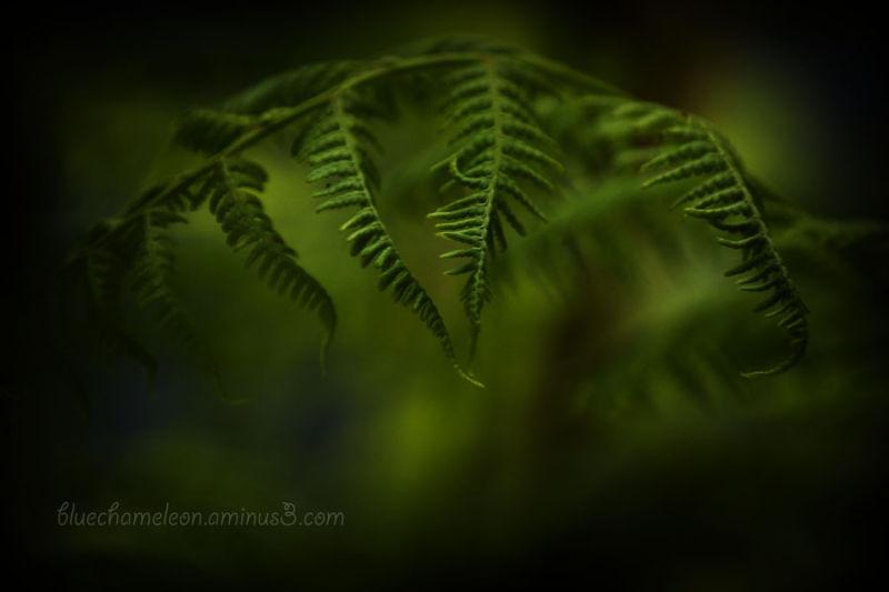 A fern emerging during spring