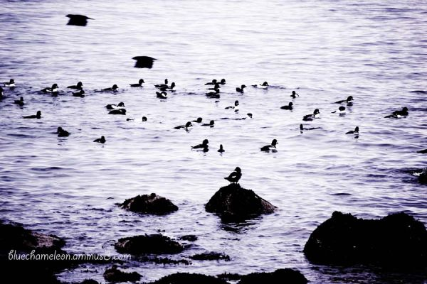 Black & white ducks in the ocean, 2 crows fly by